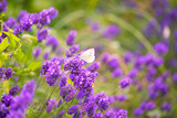 Butterfly on lavender flowers - 206900735