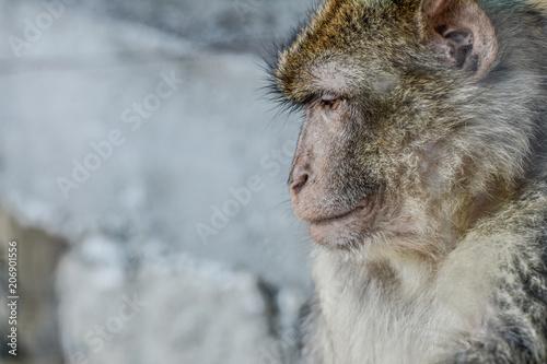 Fotobehang Aap Portrait d'un singe