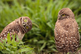 Funny Burrowing owl Athene cunicularia tilts its head outside its burrow - 206905546