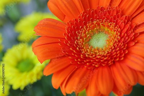 Fotobehang Gerbera Gerbera part of the blossom orange