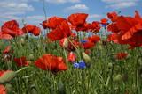 Wiosna ,maki na polu ,maki w słoneczny dzień © LBanacki