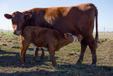 Cow steer and milk