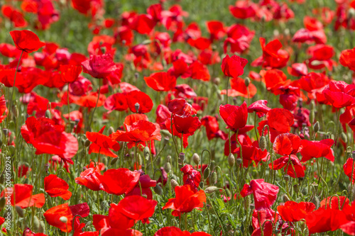 Fotobehang Rood Poppy field in spring