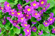 Leinwanddruck Bild - Close-up bunch of garden purple flowers
