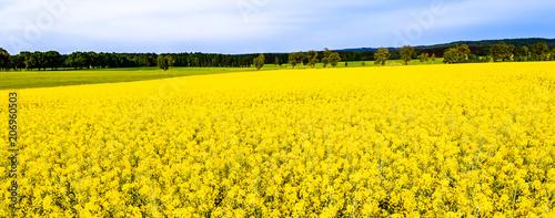 Plexiglas Geel Rapeseed fields, panorama with flowers on field of rape, landscape