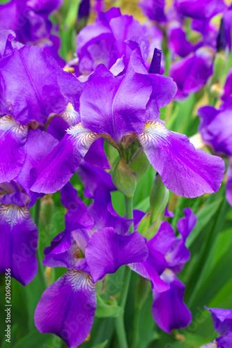 Aluminium Iris Violet irises in garden