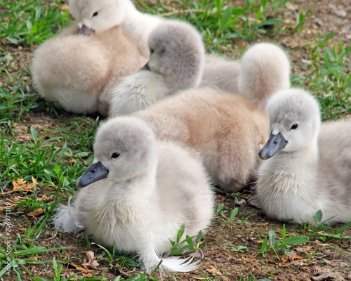 Aluminium Zwaan Baby Mute Swans only 2 days old resting on grassy area