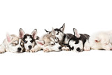 Cute Siberian husky puppies on white background.