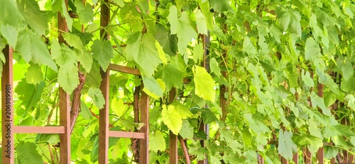Fotobehang Lente Wine background in Europe. Czech Republic, South Moravia.