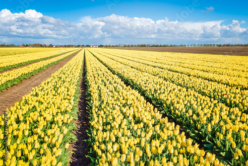 Fotobehang Tulpen Panoramic image of a large field with bright yellow flowering tulip blooms