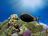 Orange-spine unicornfish (Naso lituratus) - 206996107
