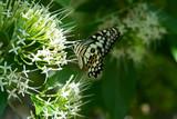 Monarch butterlfy closeup on white flower, .Thailand