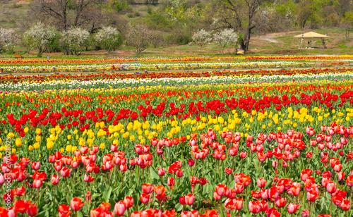 Fotobehang Tulpen tulip in kashmir flora festival