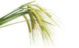 green ears of wheat isolated - 207045511