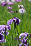 花菖蒲の開花