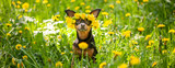 Сute puppy, a dog in a wreath of spring flowers  on a flowering meadow, a portrait of a dog. Spring Summer theme - 207059945