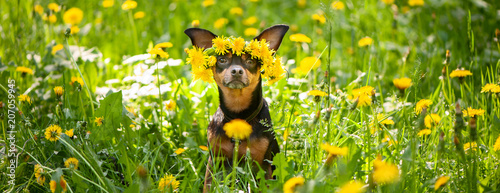 fototapeta na ścianę Сute puppy, a dog in a wreath of spring flowers on a flowering meadow, a portrait of a dog. Spring Summer theme