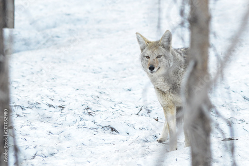Fotobehang Wolf Canine hunting in the winter.