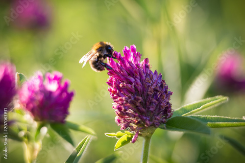 Bee collecting nectar on the pink clover
