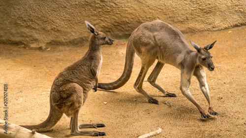Aluminium Kangoeroe Two Kangaroos at the zoo in funny positions