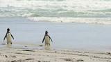 Magellanic Penguins on the beach - 207076992