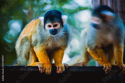 Fotobehang Aap Bolivian Squirrel Monkey