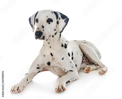 Naklejka dalmatian in studio