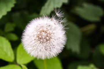 löwenzahn, blume, natur, pflanze, green, weiß, sommer, frühling, gras, saat, flora, makro, unkraut, flaumig, saat, aufblühen, blume, close up, wind, wiese, schönheit, stem, wachstum, garden, gelb
