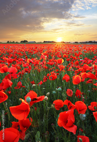 Fotobehang Rood traf. Landscape with nice sunset over poppy field