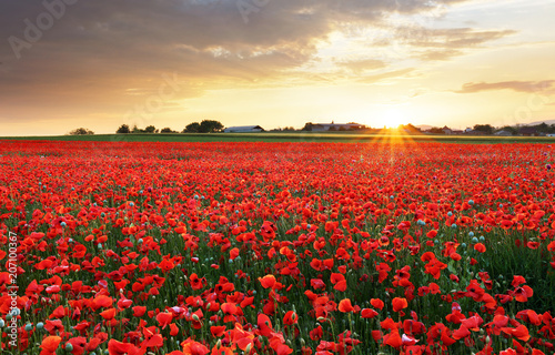 Fotobehang Rood traf. Poppy flowers meadow and nice sunset scene