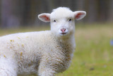 portrait of lamb on a spring pasture - 207101371