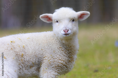 portrait of lamb on a spring pasture