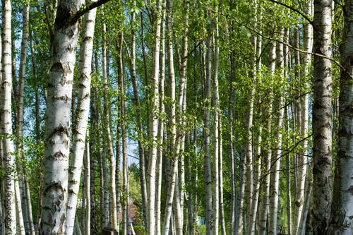 Birch forest view. Landscape.
