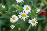 chamomile nature garden concept from above on green grass unfocused background
