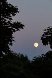 Full moon between trees at dusk