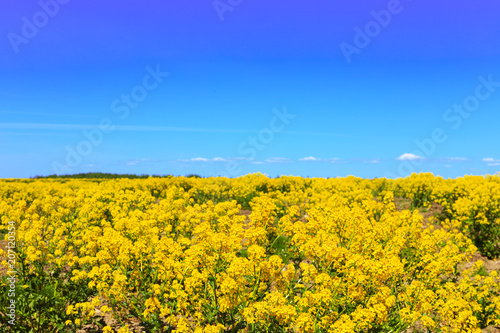 Fotobehang Oranje Blooming field of yellow rapeseed.