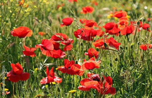 Aluminium Klaprozen Red poppies in the field