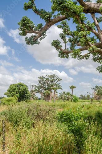 Foto Spatwand Baobab African baobab trees in between long grass against cloudy blue sky on field in rural Senegal, Africa