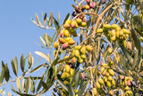 green table olives on olive tree against blue sky