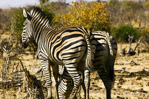 Gruppe von 2 Zebras in namibia