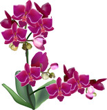 isolated large purple orchid flowers on two stems