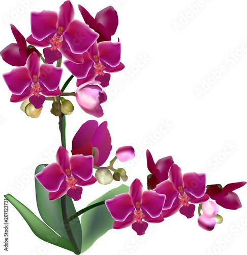 isolated large purple orchid flowers on two stems - 207123731