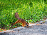 Ginger squirrel in green grass. Rodent is seaching for food. Spring natural background. - 207128714