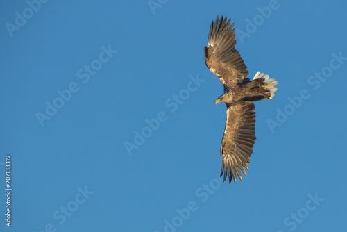 Fotobehang Eagle Hunting Sea Eagle