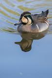 pato nadando reflejo agua - 207135719
