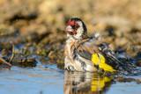 European Goldfinch, carduelis carduelis, splashing in the water.