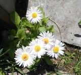 daisies, garden, flowers, nature, plant