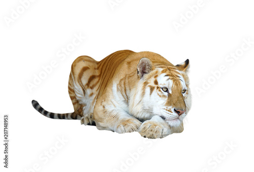 Aluminium Tijger golden tabby tiger or strawberry tiger
