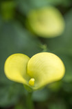 yellow  Calla Lily Blooming in Spring - 207152146