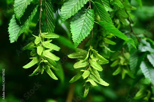 Leinwanddruck Bild Hainbuche, Carpinus betulus, Weißbuche, Hagebuche, Hornbaum